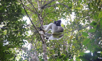 With its powerful cry, the Indri Indri, a flagship species of the Andasibe Mantadia National Park, is classified as