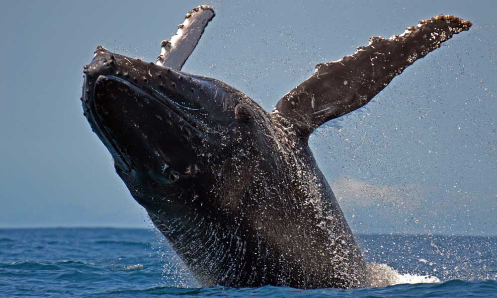 Between July and September, humpback whales come to the waters  (megaptera novaeangliae) of the Canal of Sainte Marie to breed or to give birth. During a sea trip, you will have the opportunity to observe these fascinating creatures.